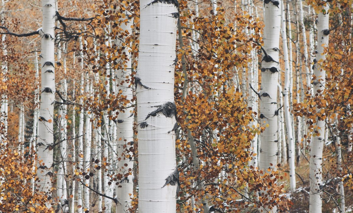 Birch trees are sometimes used in the production of cartonboard